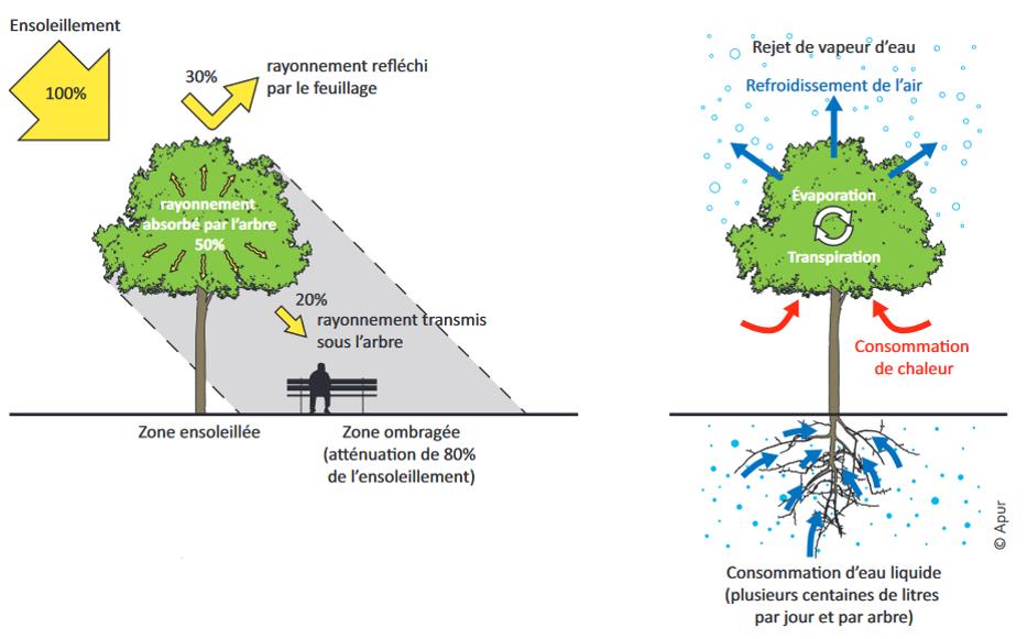 Régulation thermique urbaine par les arbres